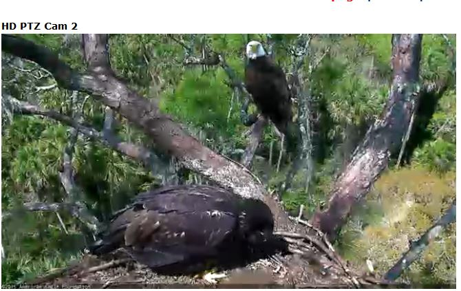 Florida eagle cam (Photo: American Eagle Foundation)