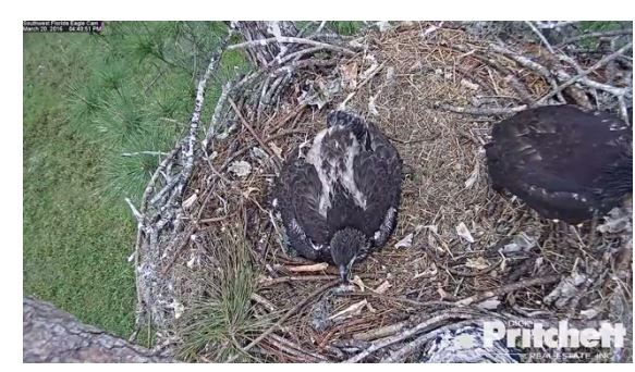 Eagle cam from Dick Pritchett in Fla. (Photo: Dick Pritchett website).