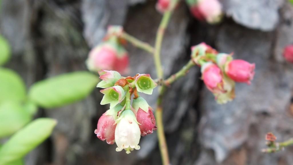 Spring low bush blueberry