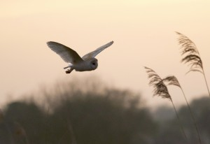 Barn_Owl_South_Acre_2