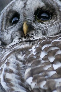 Barred_Owl_(Strix_varia)
