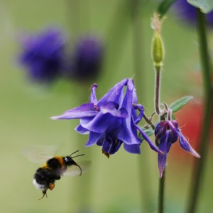Bee_pollinating_Aquilegia_vulgaris