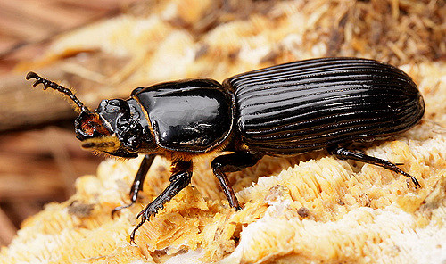 bess beetle in winter cotinis 3