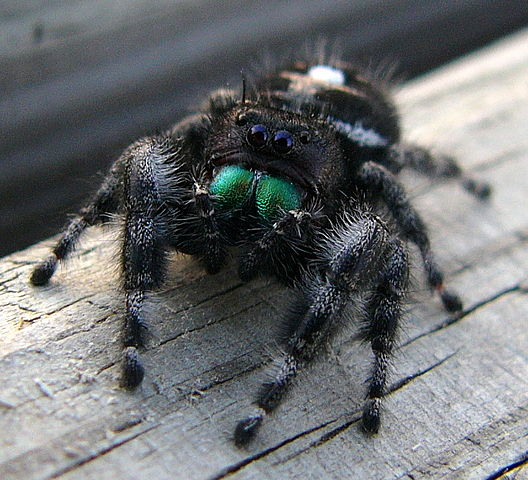 528px-Jumping_Spider