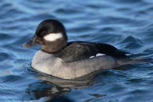 bufflehead duck female wiki