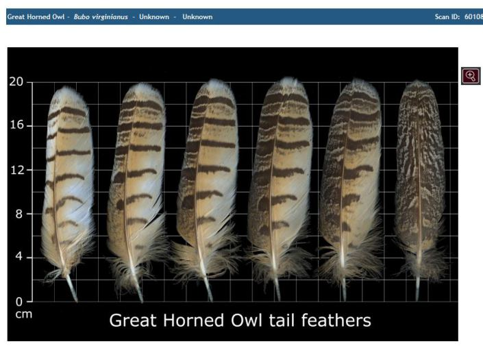 gho feathers