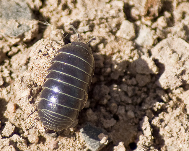 The Secret Life Of Pill Bugs The Infinite Spider