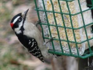 Backyardbirds flicker