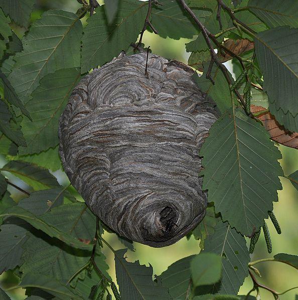 Bald Faced Hornet Dolichovespula Maculata Nest Large Yellow Jacket Found