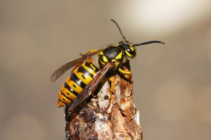 Eastern yellow jacket flicker sankax