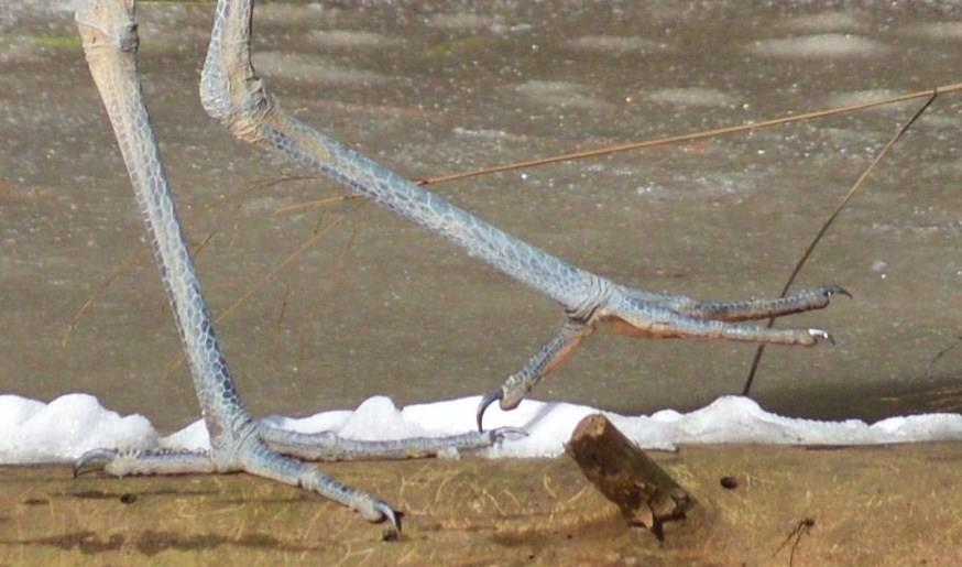 Judy Bissett heron feet