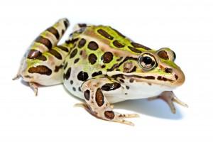 Lithobates_pipiens N. leopard wiki