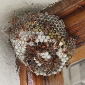 Paper wasp Duncan_Drennan Wiki