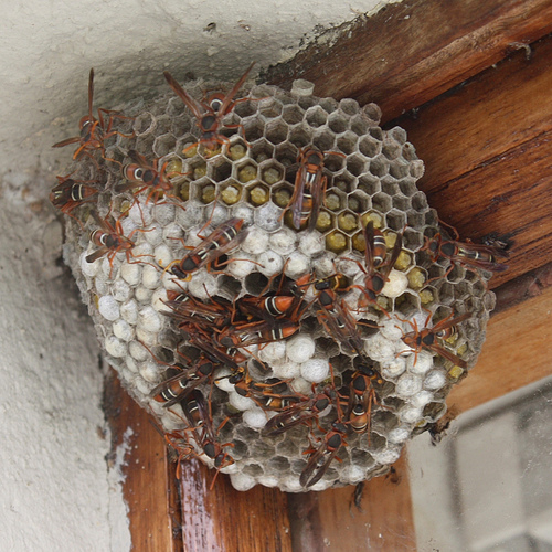 An Introdction To Paper Wasp Nests The Infinite Spider