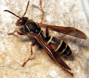 Paper wasp - Poliste fuscatus