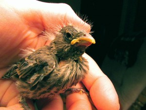 640px-1st_Baby_Bird_(Finch)_Rehabber_Of_The_Season