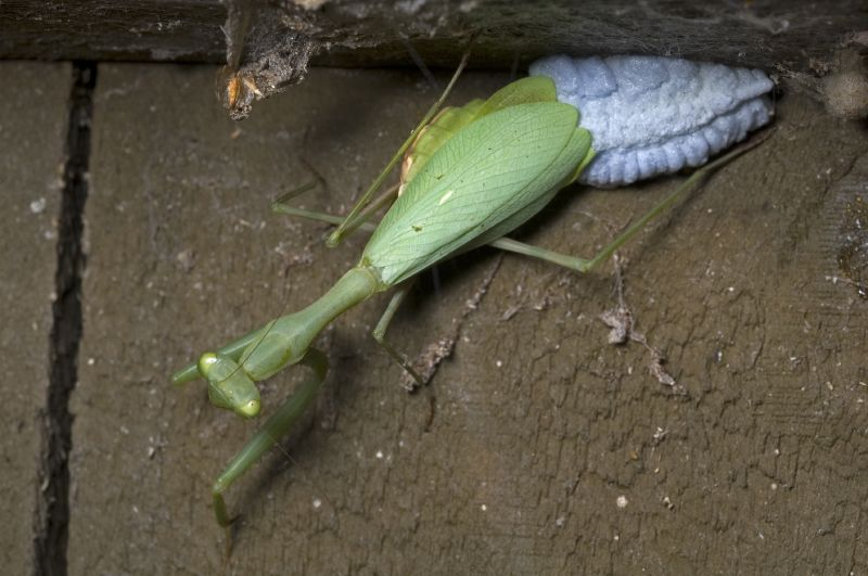 Miomantis_caffra_laying_egg_case