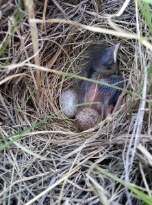 Savannah_Sparrow,_Passerculus_sandwichensis,_nestling_baby_bird_in_nest_with_2_eggs_AB_Canada