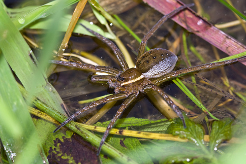 Six spotted fishing spider flicker stephen begin