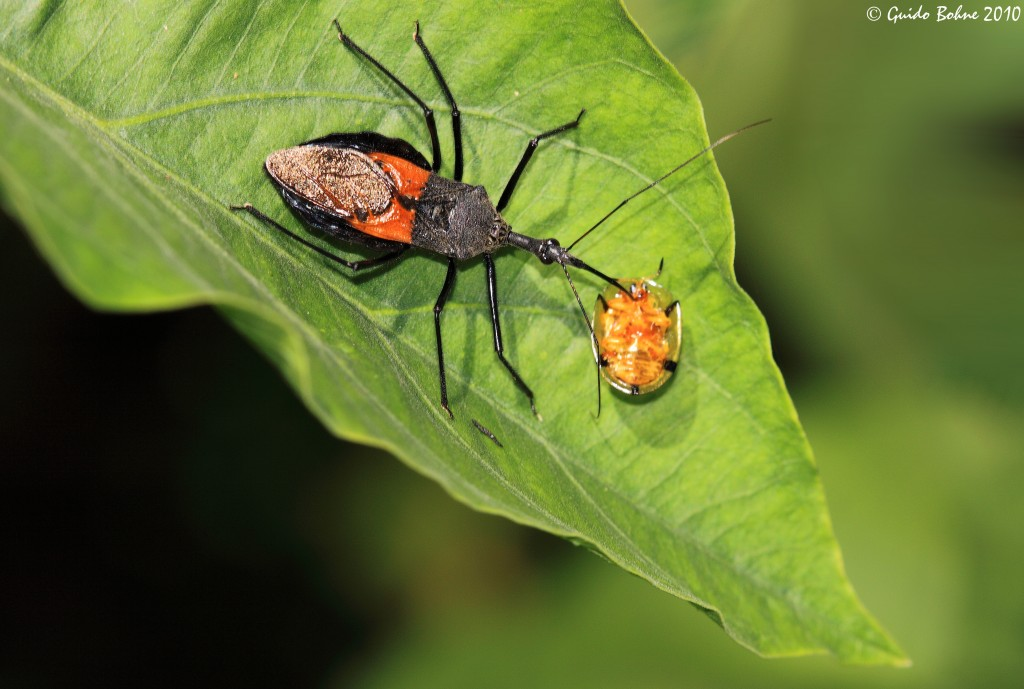 stink bug 101 an introduction to stink bugs the infinite spider. Black Bedroom Furniture Sets. Home Design Ideas