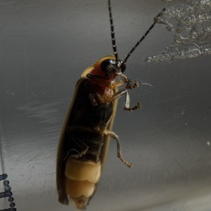 Lightening bug flicker sharing niXerKG