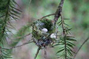 Rosie Pereria Flicker Rufous hummer nest