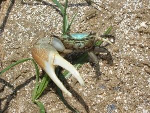 Fiddler_Crab_Gulf_Coast