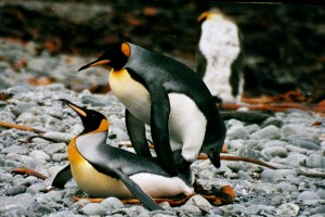 1024px-IMG_1247_mating_king_penguins