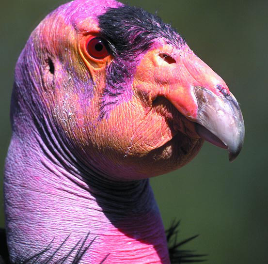 California_Condor