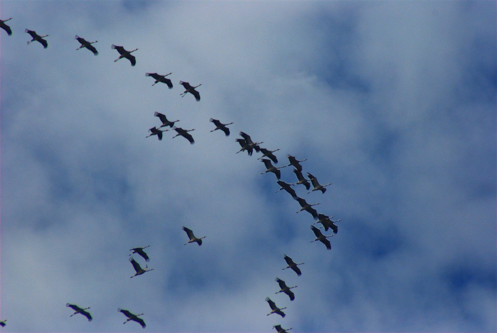 Grus_grus_-migrating_north-6a