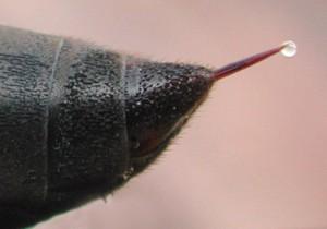 Waspstinger1658-2