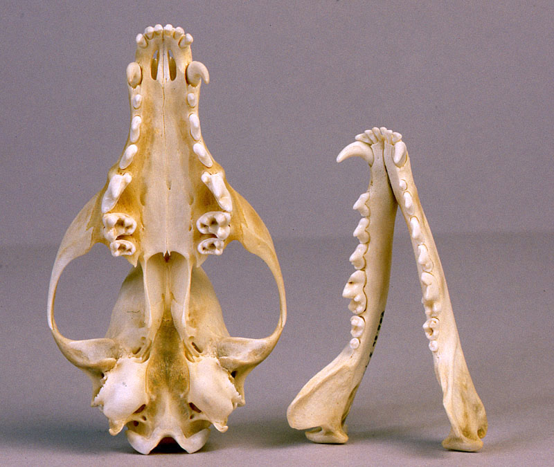 Animal Skull Id Using Teeth The Infinite Spider