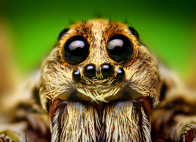 800px-Eye_Arrangement_of_a_Hogna_Wolf_Spider