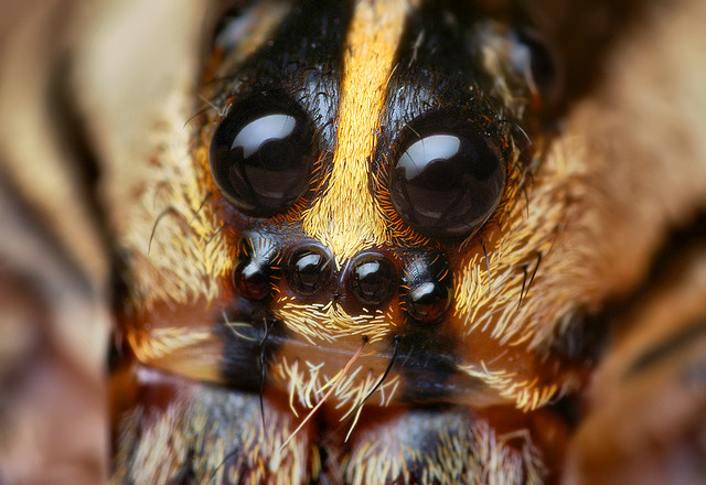 How Many Eyes Does A Spider Have The Infinite Spider