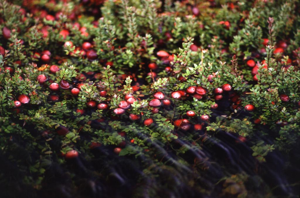 Cranberry_bog