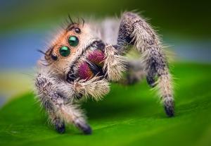 Female_Jumping_Spider_-_Phidippus_regius_-_Florida (1)
