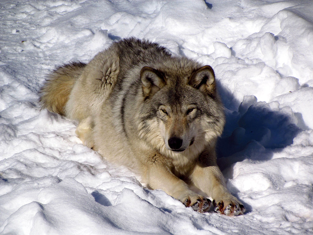 Gray_Wolf,_Omega_Park,_QC