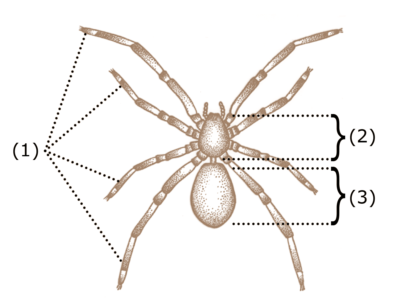 Spider Legs and How They Work - The Infinite Spider