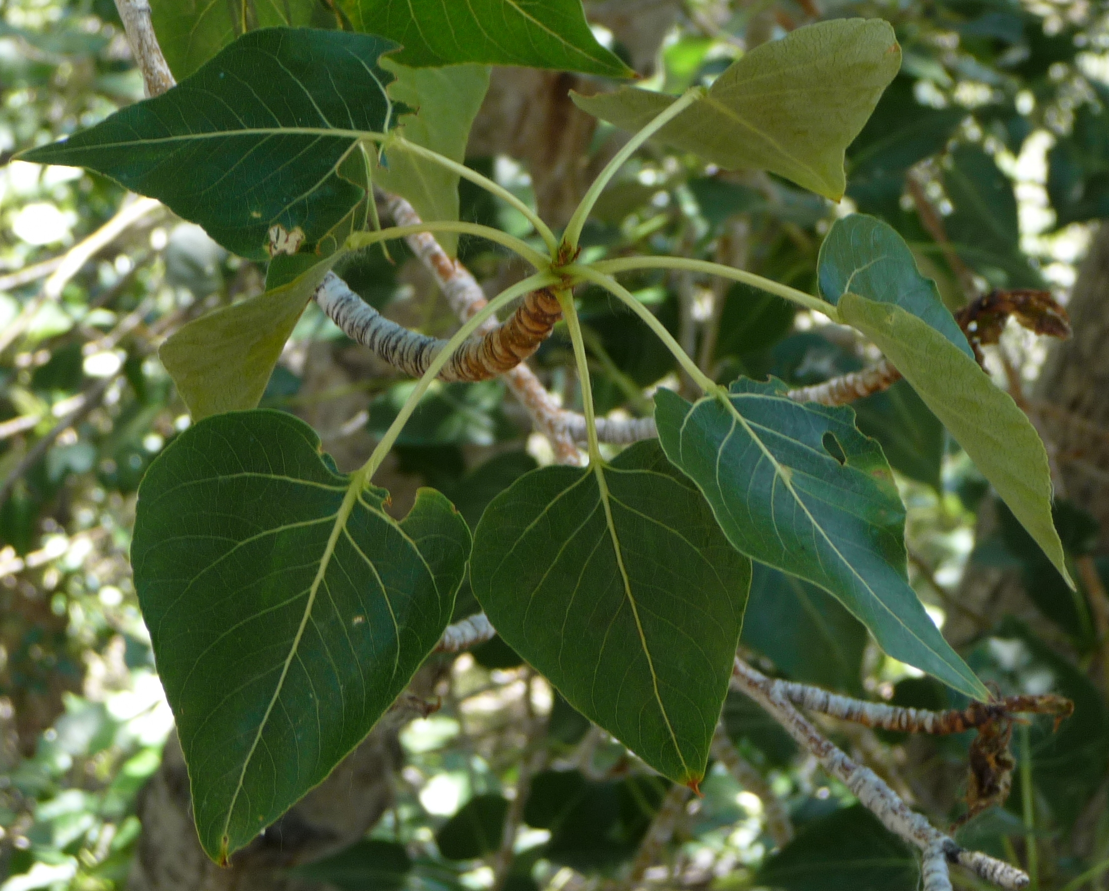 cotton wood leaves