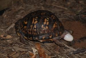 Eastern_Box_Turtle_8680