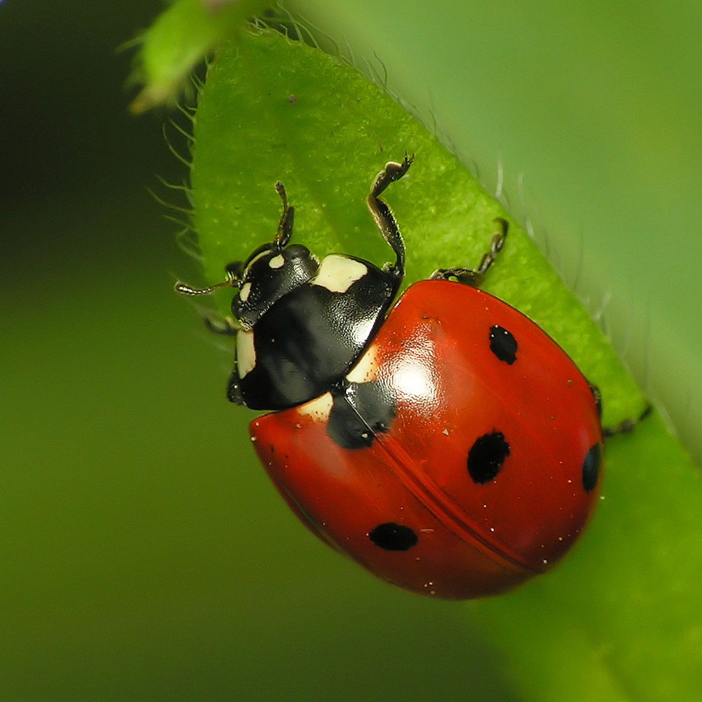 Do Ladybugs Bite? The Surprising Answer - The Infinite Spider
