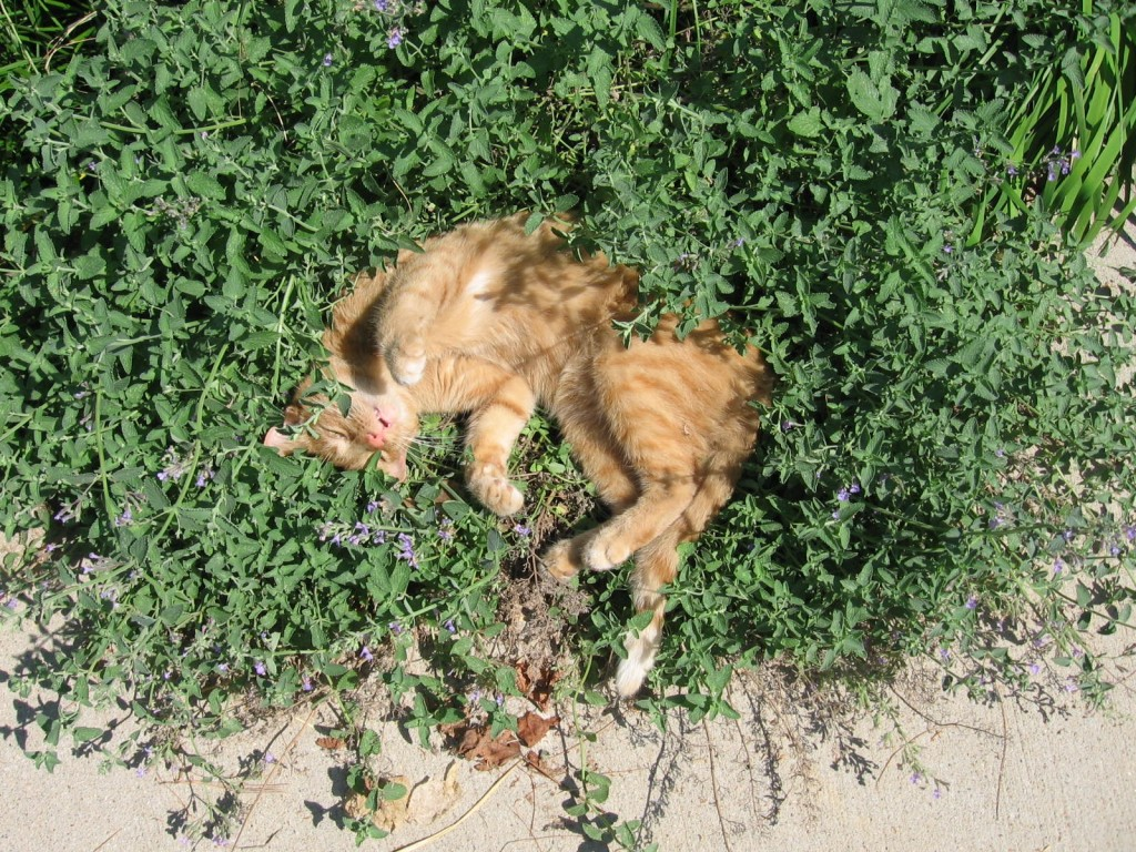 Cat_sleeping_in_catmint-16July2007