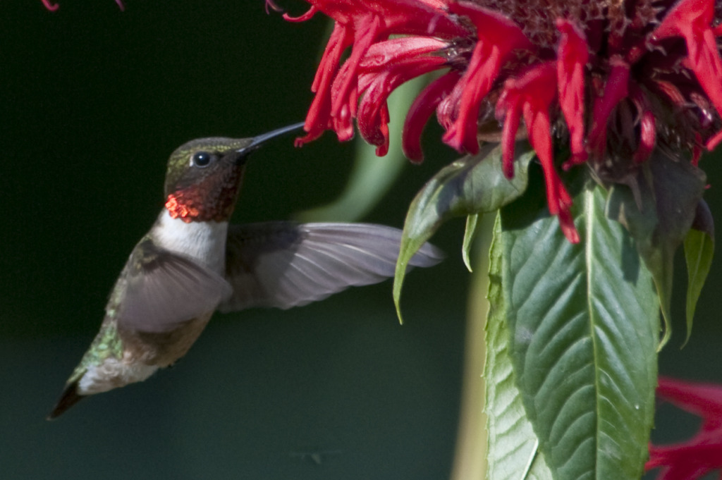 Ruby-Throated_Hummingbird_-_male