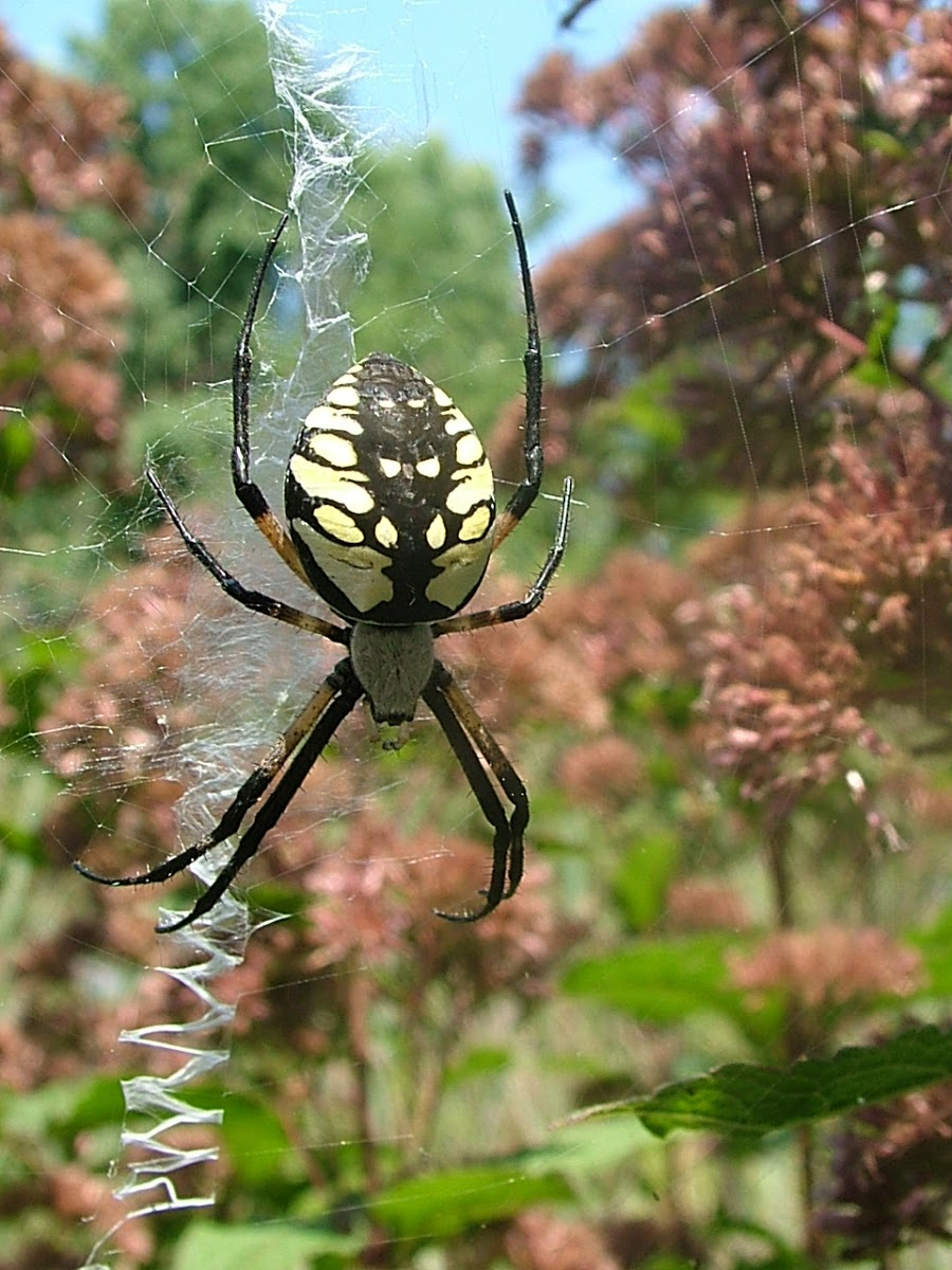 Black And Yellow Spiders The Infinite Spider