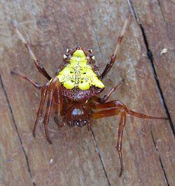 250px-Verrucosa_arenata_-_Arrowhead_Spider-3