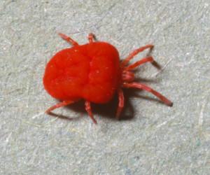 Trombicula-mite-adult