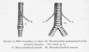 SuboscineTrachea