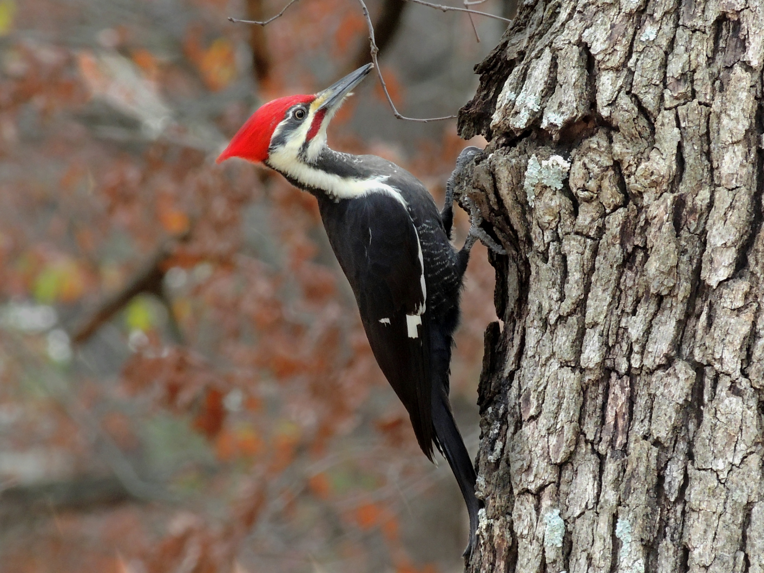 Why A Woodpecker Doesnt Bash Its Brains In