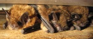 Brown_bats big