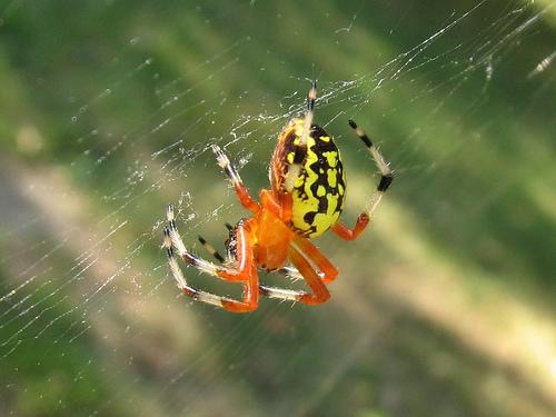 What is That Big Orange Spider? - The Infinite Spider